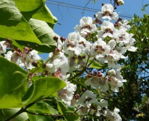 Graines de Catalpa