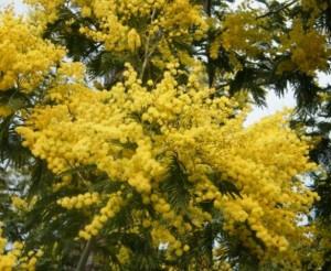 Graines mimosa